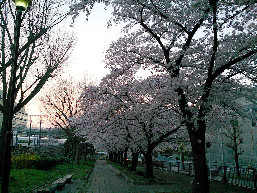 レベル補正後の桜の写真