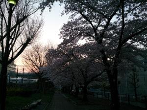 逆光の桜の写真
